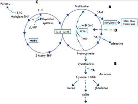 Figure 4.1-A simplified schematic of the methylation cycle.